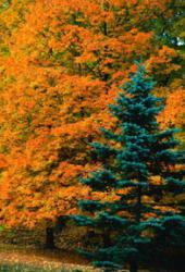 Canadianspruce.jpg