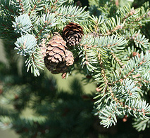 canadian-spruce-reed-diffuser-oil