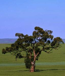 eucalyptus1.jpg