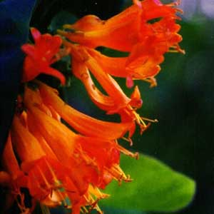 honeysuckle-reed-diffuser-oil.jpg