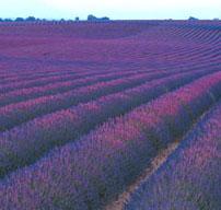 lavender-reed-diffuser-oil.jpg