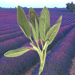 lavender-sage-reed-diffuser-oil-lrg