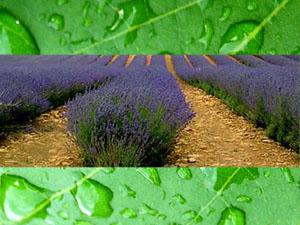 lavenderRain300.jpg
