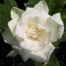gardenia-reed-diffuser-oil