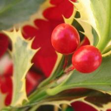 hollyberry300.jpg
