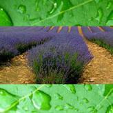 Lavender rain reed diffuser oil