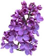 lilacs4.jpg