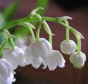 Lily of the valley reed diffuser oil