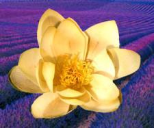 lotusflowerandlavender.jpg